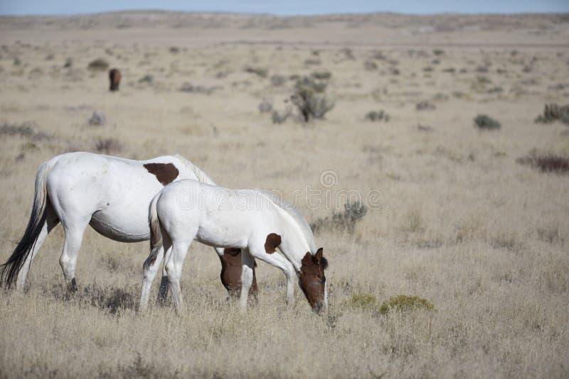 Мустанги табуна Onaqui одичалые в большом тазе пустыни, Юте США стоковое фото