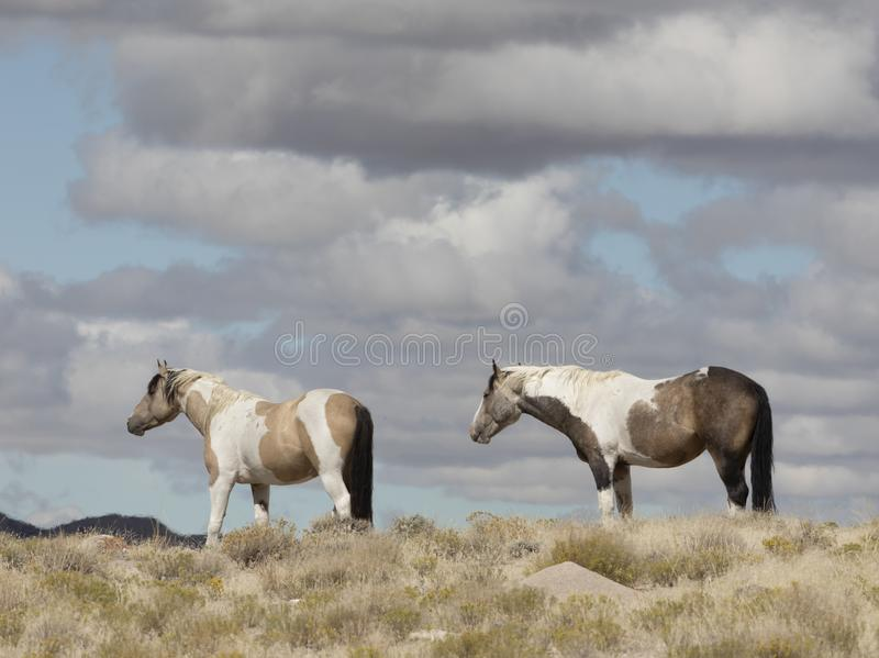 Мустанги табуна Onaqui одичалые в большом тазе пустыни, Юте США стоковые фотографии rf