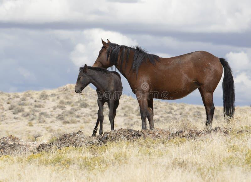 Мустанги табуна Onaqui одичалые в большом тазе пустыни, Юте США стоковое изображение