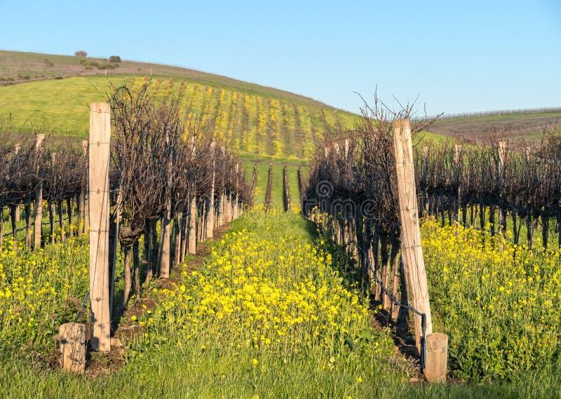 Мустард виноградника Napa Valley стоковое фото