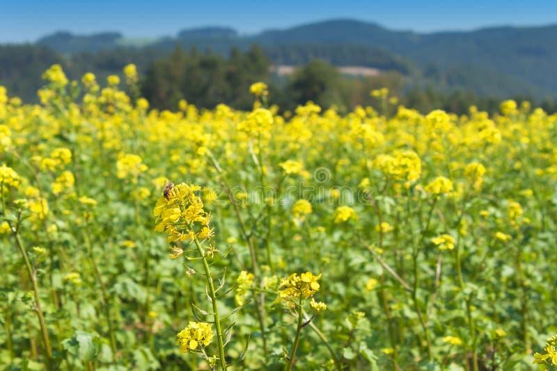 Мустард поля, запачканная предпосылка Растущие урожаи стоковые изображения rf