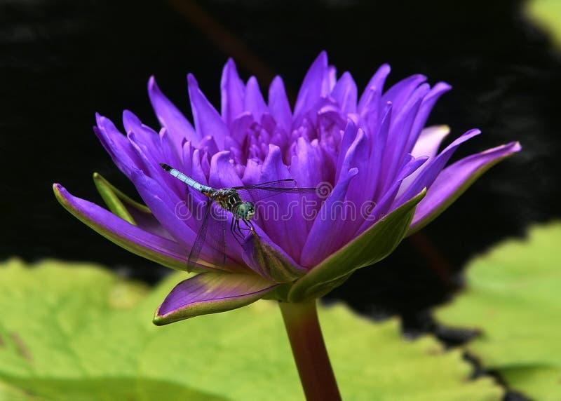 Муха дракона на lilie стоковое изображение rf