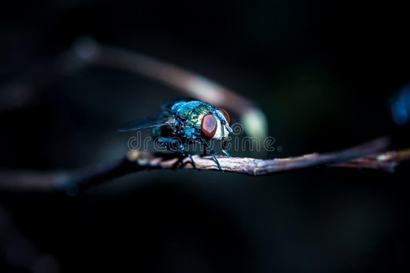 Муха дуновения общие муха бутылки или sericata Lucilia стоковые изображения rf