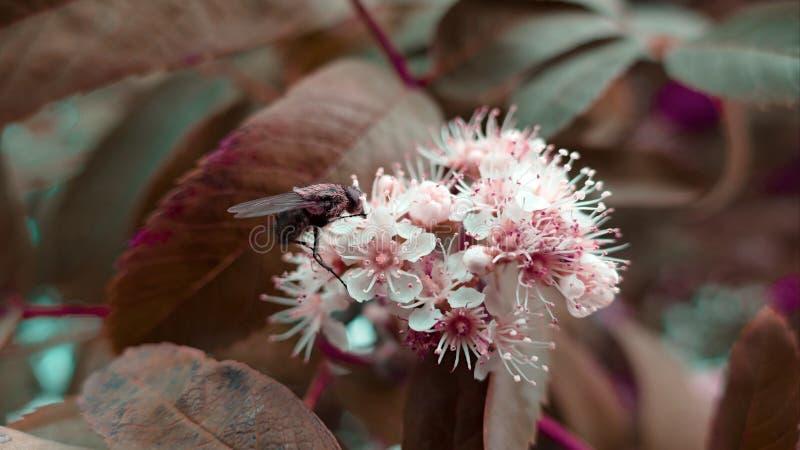 Муха на белом цветке стоковая фотография rf