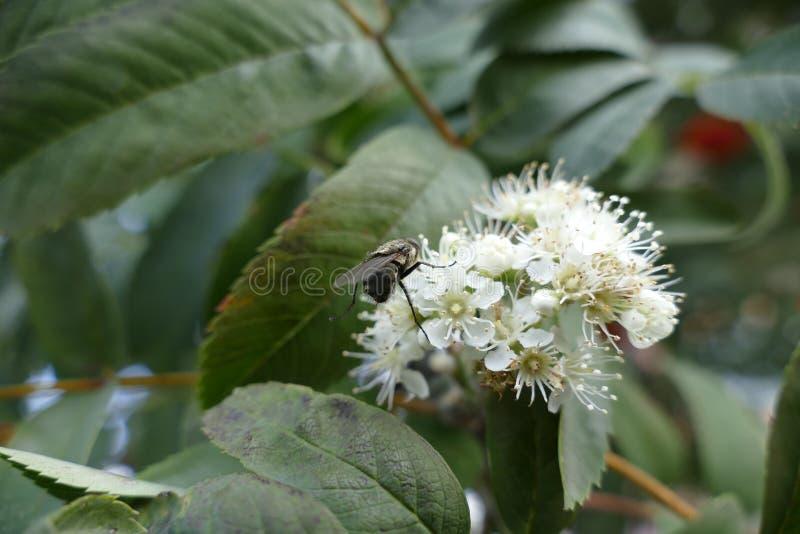 Муха на белом цветке стоковые фото