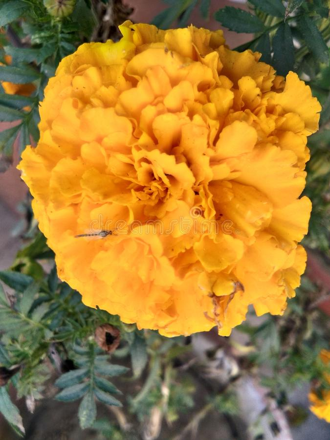 Муха на времени осени цветка Marygold красивом стоковое фото