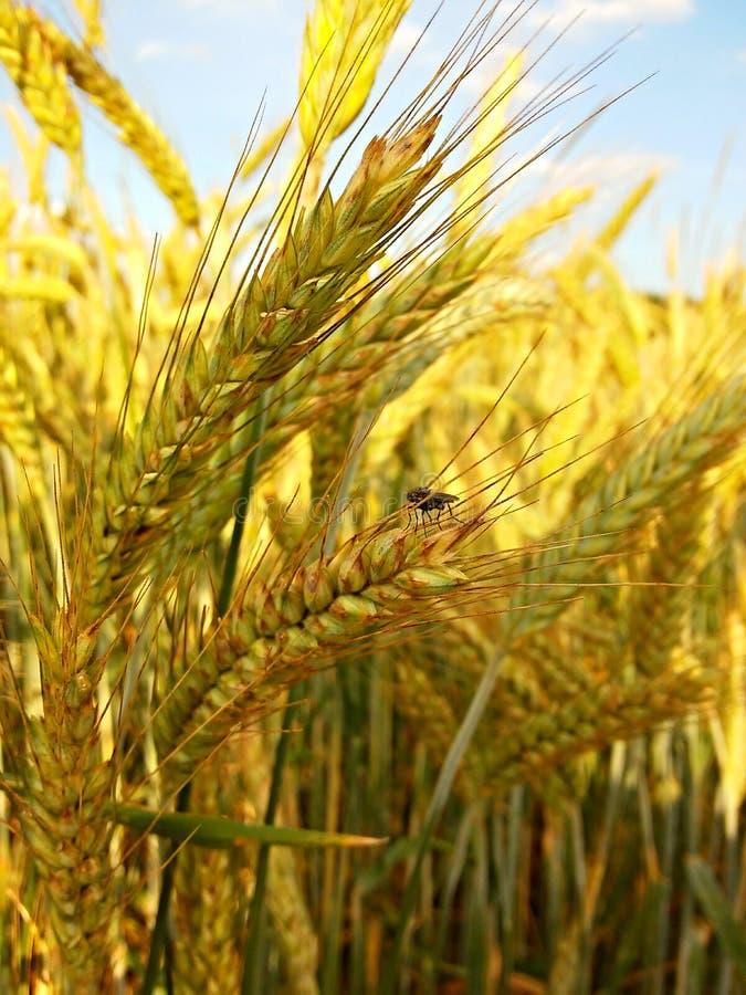 Муха на пшенице стоковое изображение