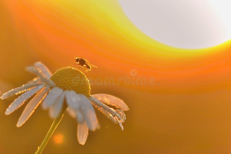 Муха на chamomille с восходящим солнцем позади стоковое фото