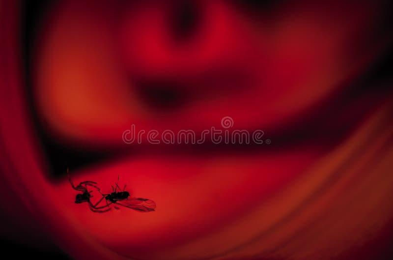 Муха паука заразительная стоковая фотография rf