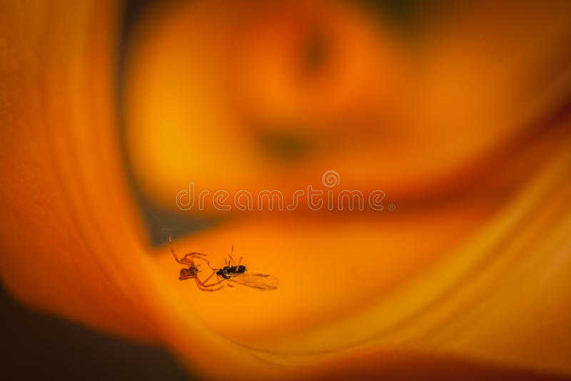 Муха паука заразительная стоковые фотографии rf