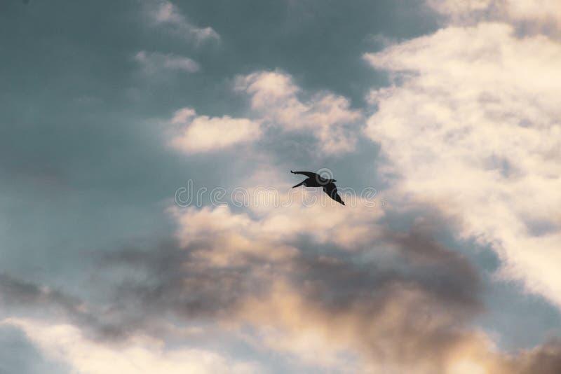 Муха пеликана на небе на заходе солнца стоковое фото rf