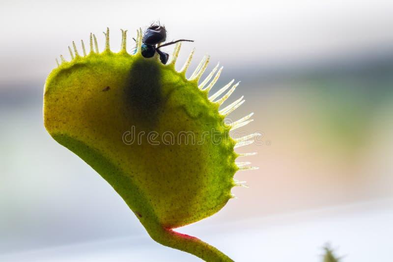 Муха уловленная в Flytrap Венеры стоковые фотографии rf