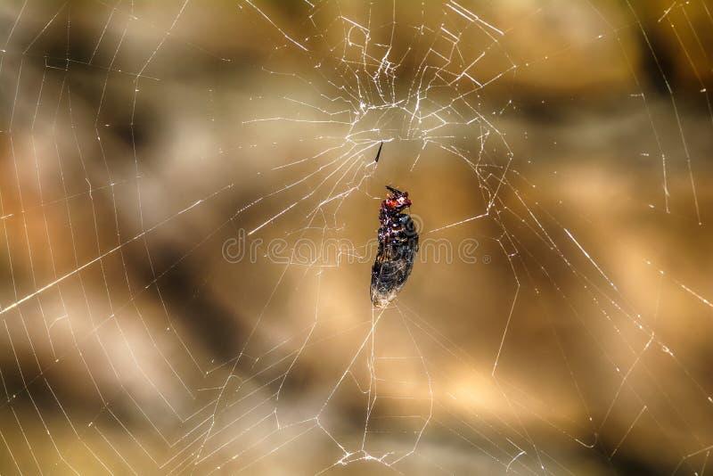 Муха уловленная в сети стоковая фотография