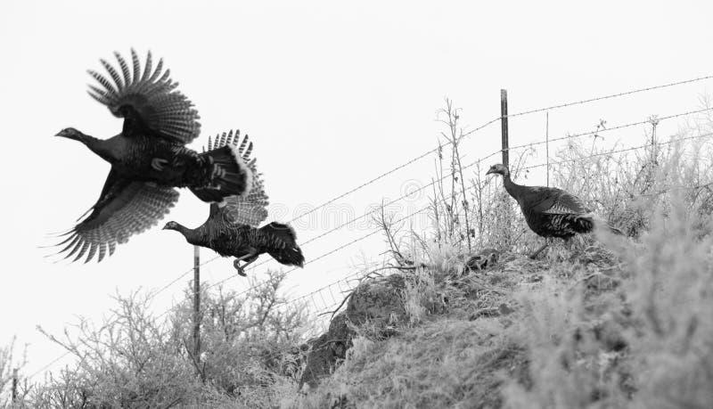 Муха фазана пытая ландшафт зимы Brid игры избежания большой стоковое изображение rf