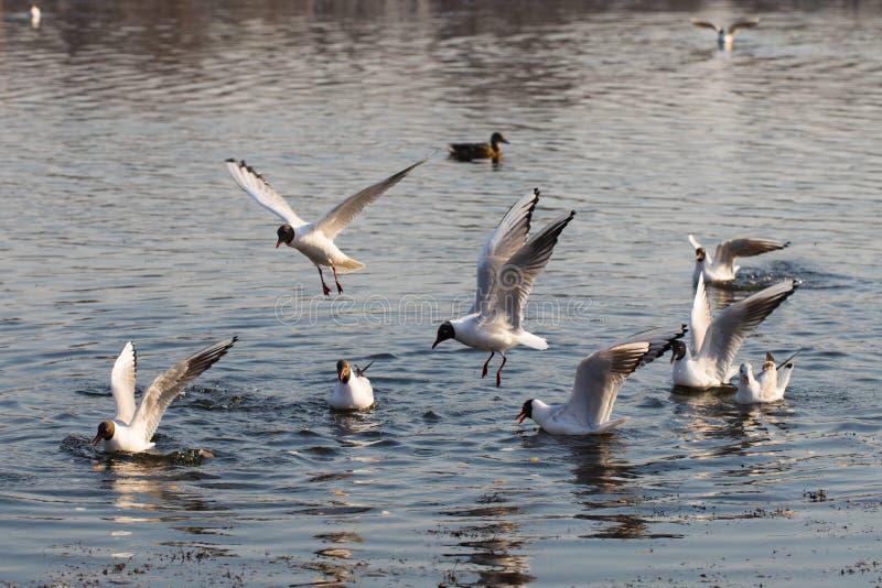 Муха чайки над водой стоковое фото rf