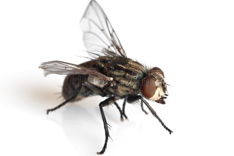 муха стоковое изображение