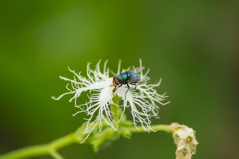 Муха Bluebottle на белом цветке стоковое изображение rf
