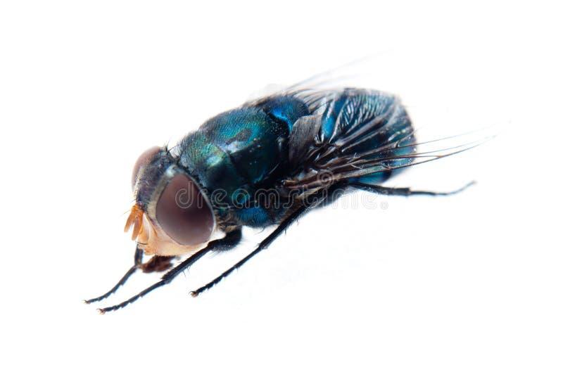 муха bluebottle стоковое изображение rf
