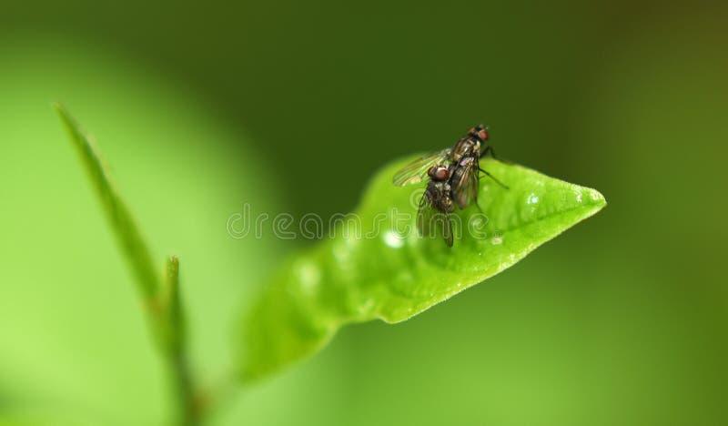 2 мухы на зеленых лист стоковое изображение rf