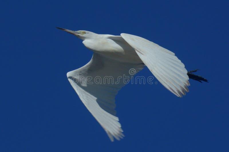 Мухы неполовозрелые маленькие голубой цапли над водой по мере того как она охотится для задвижки стоковые изображения