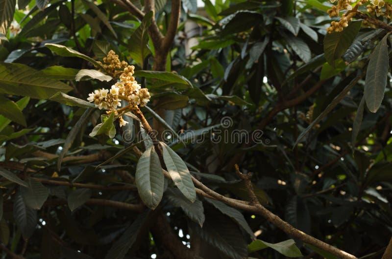 Мушмула, цветок мушмулы стоковое изображение rf