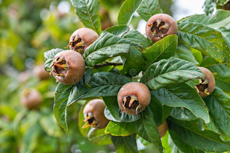 Мушмулы в фруктовом дерев дереве стоковая фотография rf