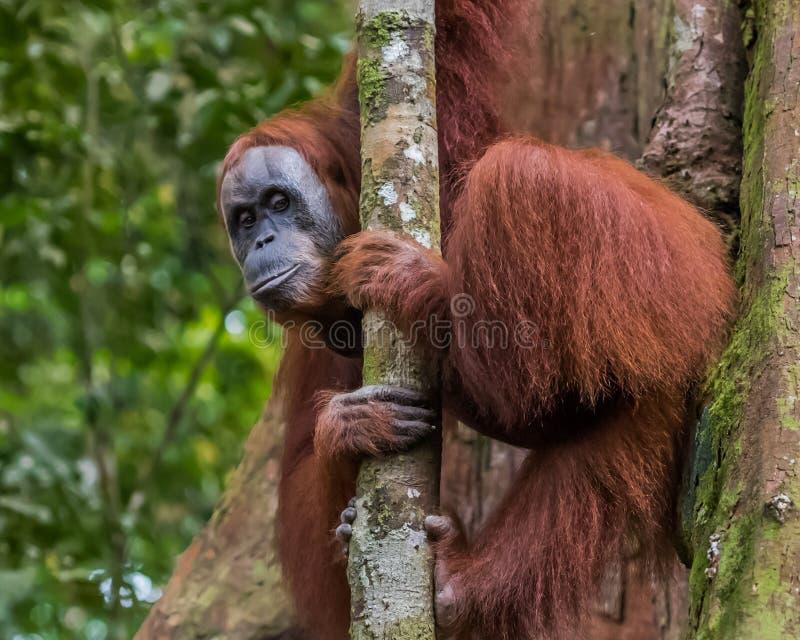 Мудрые заботливые взгляды украдкой орангутана вне от за тонкого дерева Boh стоковые изображения rf