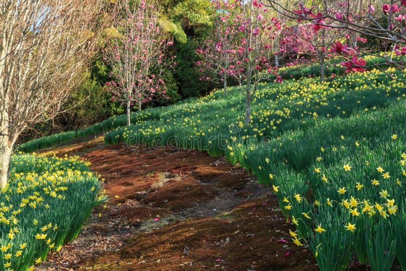Мшистая тропа изгибает вдоль горного склона предусматриванного в daffodils и магнолиях стоковые фотографии rf