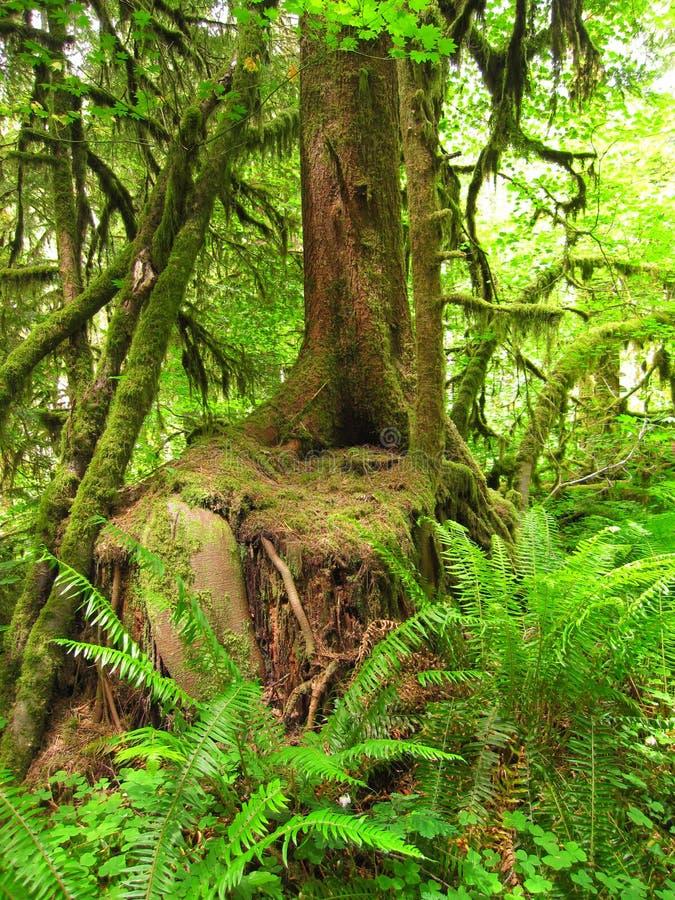 Мшистое дерево в папоротниках пущи стоковое фото rf