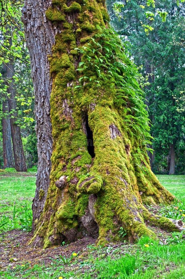 Мшистое дерево клена с папоротниками на хоботе в лесе стоковое изображение rf