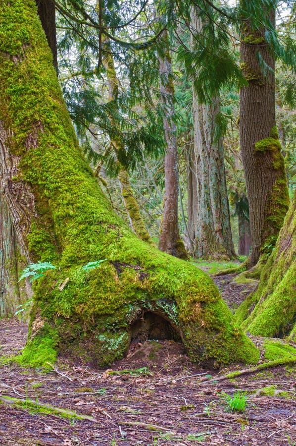 Мшистое дерево с домом феи на основании дерева стоковые изображения
