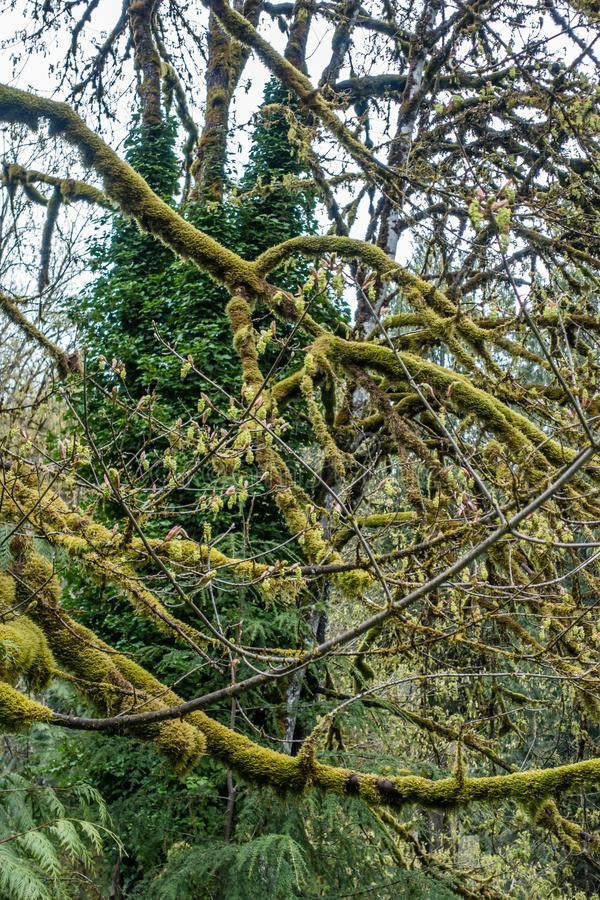 Мшистый конспект 6 дерева стоковая фотография rf