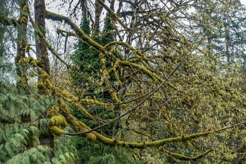 Мшистый конспект 5 дерева стоковые фотографии rf
