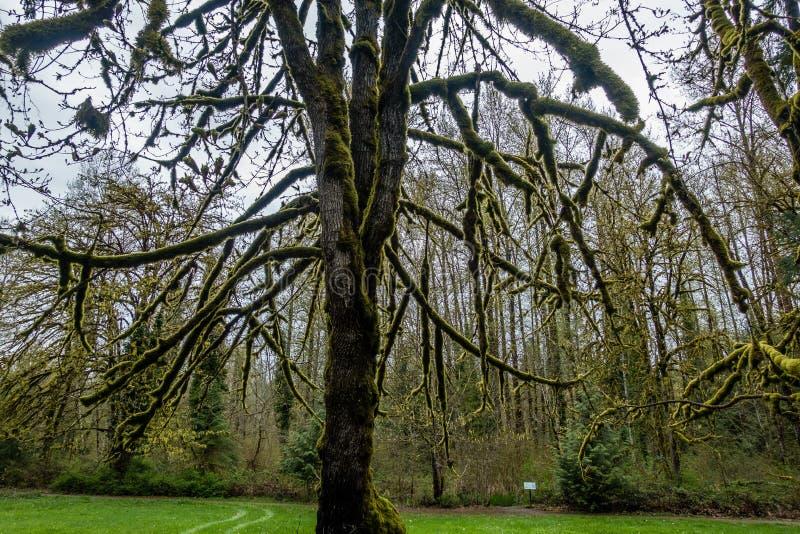 Мшистый силуэт 2 дерева стоковые фото