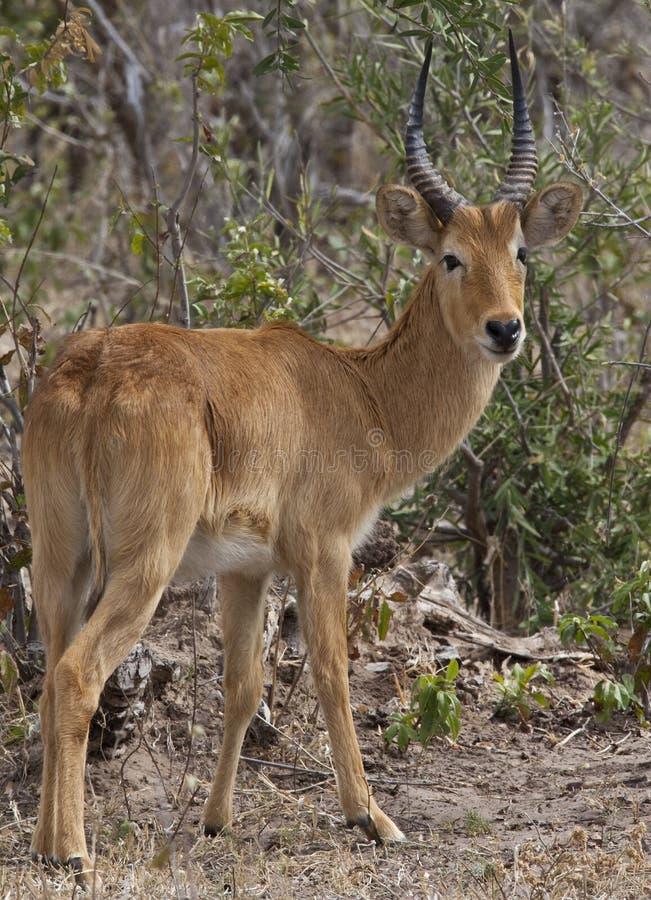 Мыжская антилопа Puku (vardonii) Kobus - Ботсвана стоковые фотографии rf