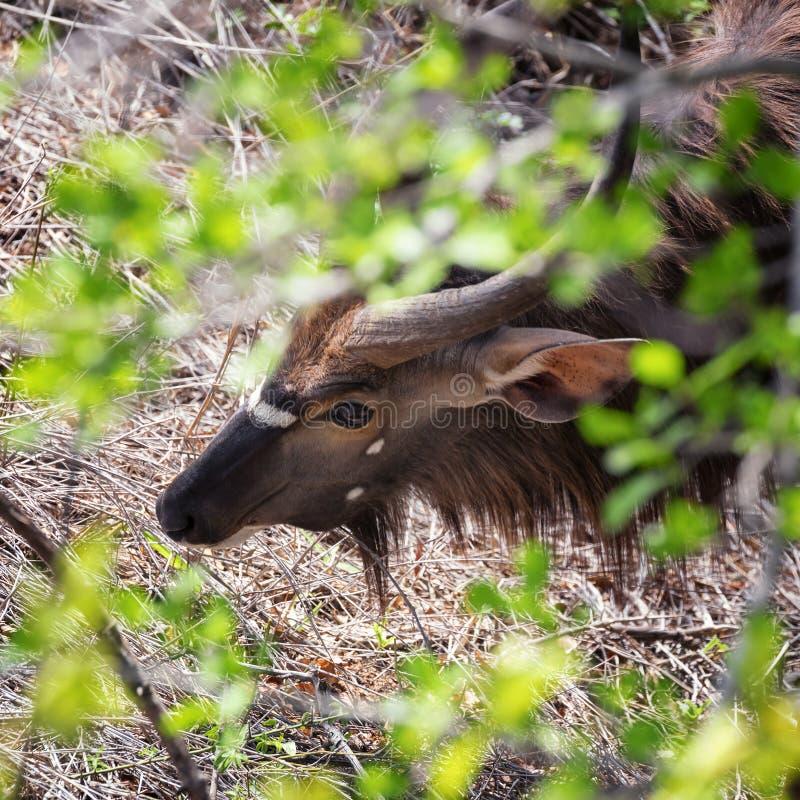Мыжская антилопа Nyala стоковые фотографии rf