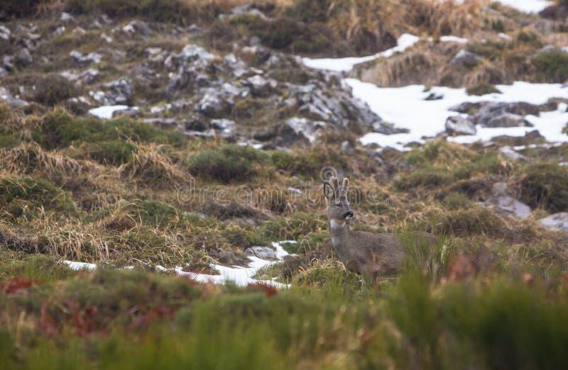 Мыжские олени козуль стоковое изображение rf