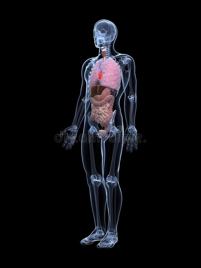 Мыжское анатомирование Стоковое Изображение