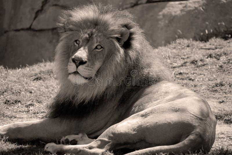 Мыжской лев стоковое изображение rf