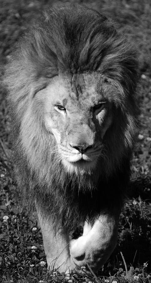 Мыжской лев стоковые изображения