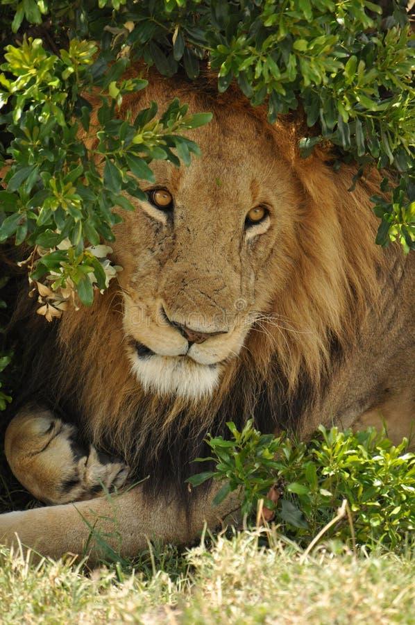 Мыжской лев под кустом стоковые фотографии rf