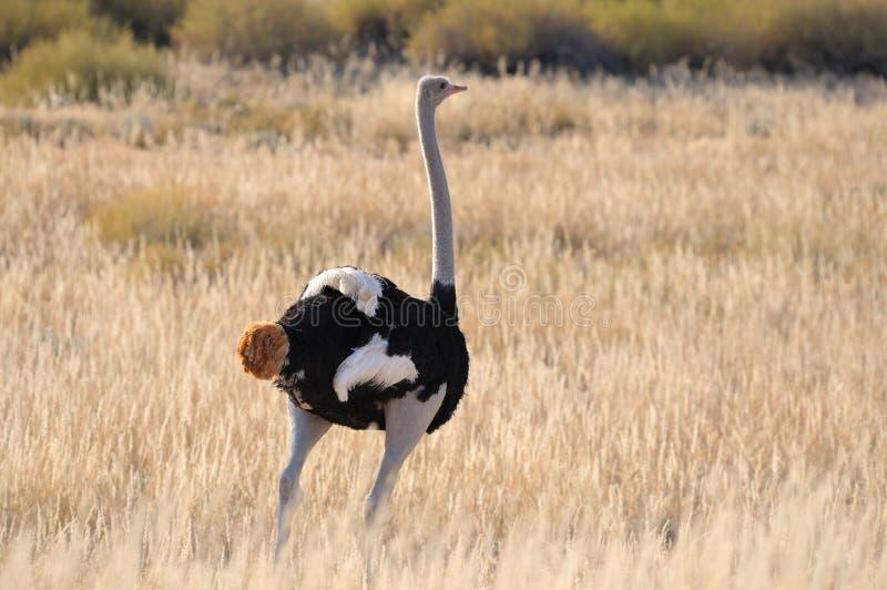 Мыжской страус стоковая фотография rf