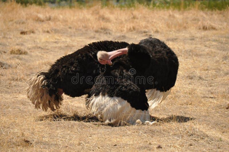 Мыжской страус стоковые изображения rf