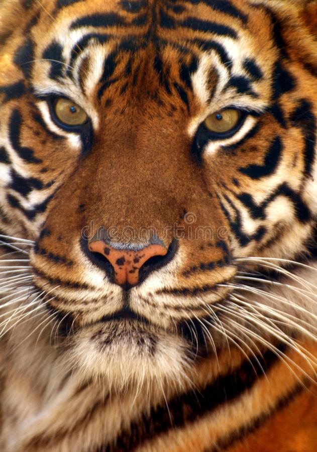 мыжской тигр stare профиля портрета вы стоковые фото