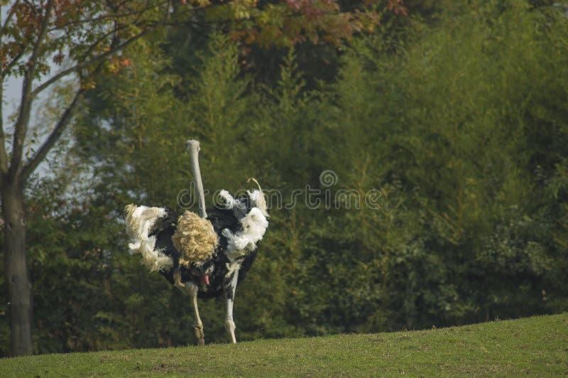 мыжской ход страуса стоковое изображение rf