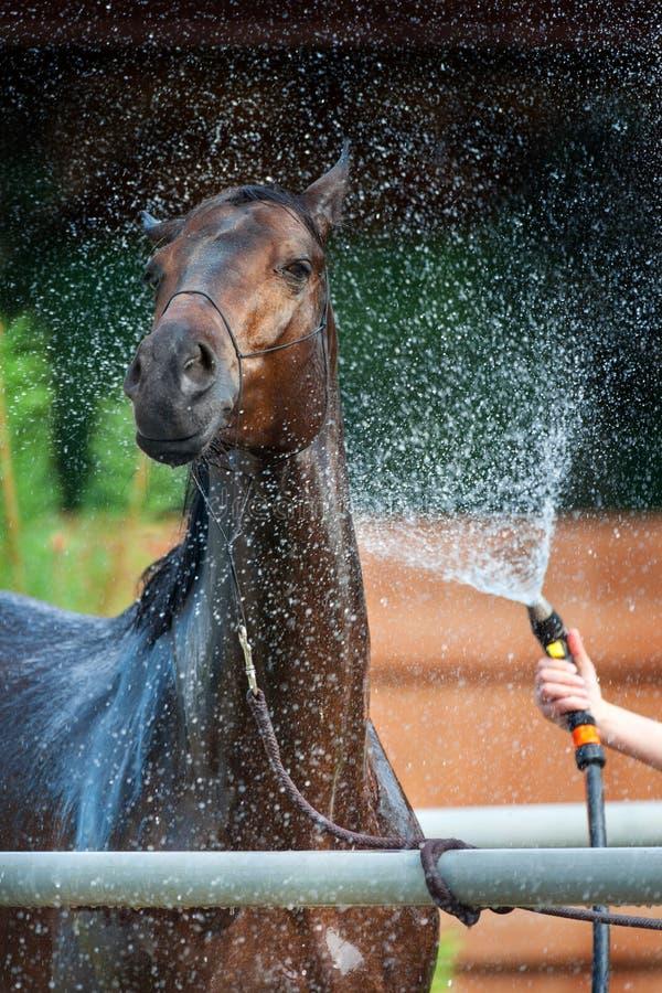 Мытье лошади залива стоковое фото