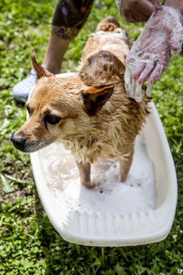 Мытье собаки стоковая фотография rf