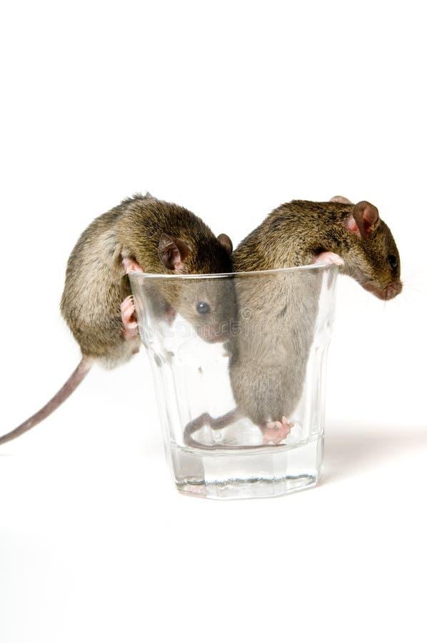 Мыши в стекле стоковое фото