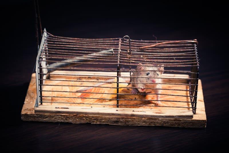 Мыши уловили в mousetrap клетки стоковая фотография rf