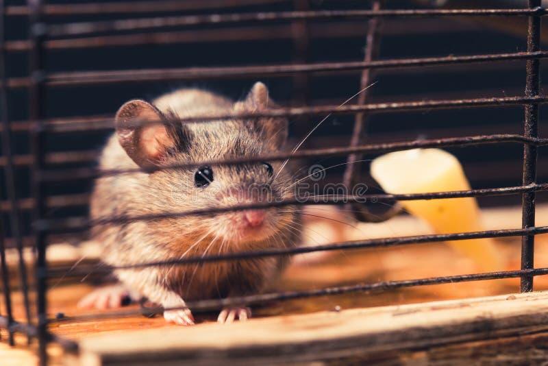 Мыши уловили в mousetrap клетки стоковое фото rf